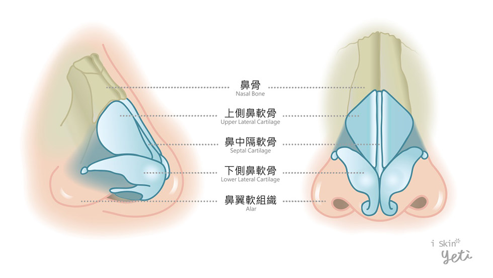 鼻部結構主由軟骨、硬骨組成圖示