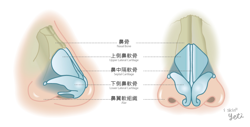 正常健康的鼻部構造示意圖。