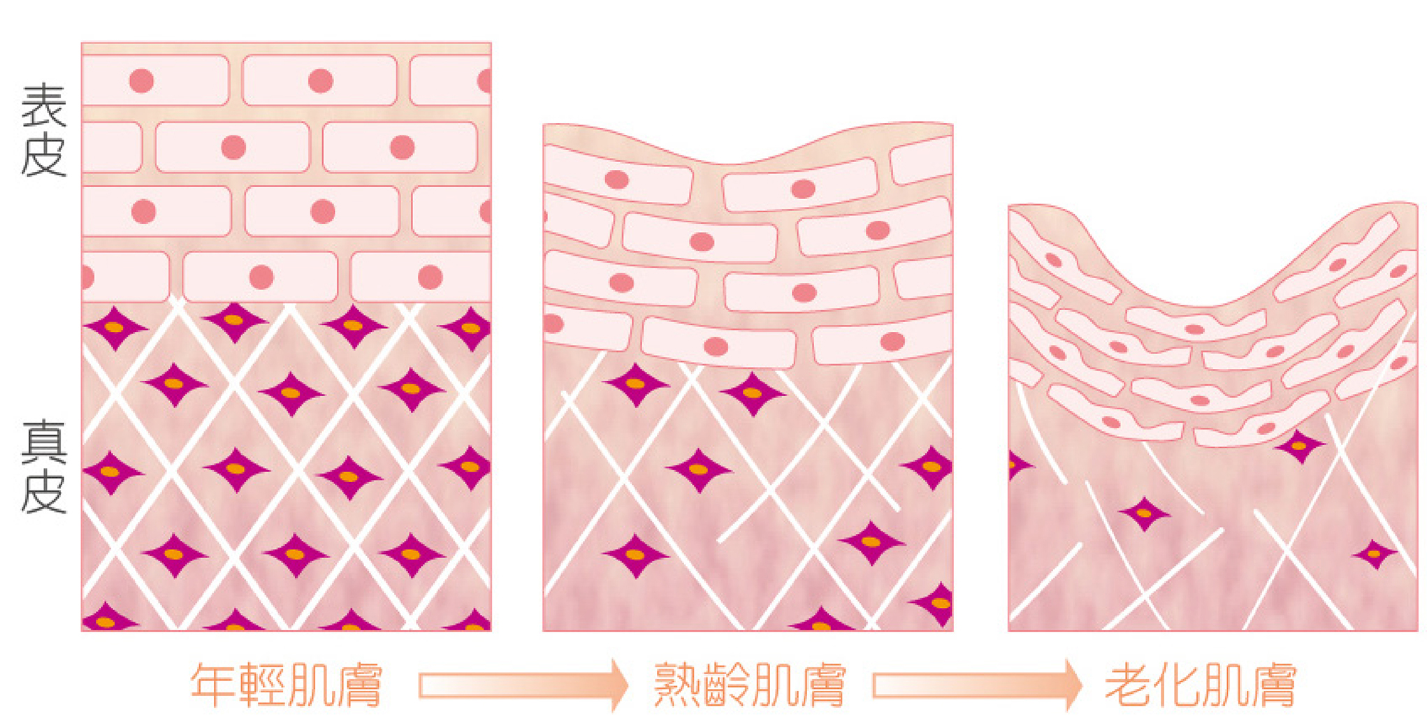 隨著年齡逐年增長,膠原蛋白開始無情的流失,肌膚進入老化階段。