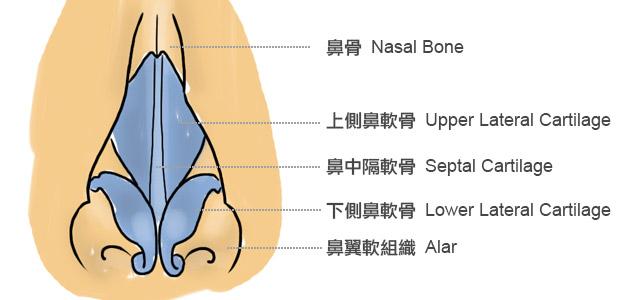 鼻部正面結構圖:從構造來看,鼻子主要由幾個部分組成:鼻骨(Nasal Bone)、鼻中隔(Septal Cartilage)、上側鼻軟骨(Upper Lateral Cartilage)、下側鼻軟骨(Lower Lateral  Cartilage)、鼻翼軟組織(Alar)。
